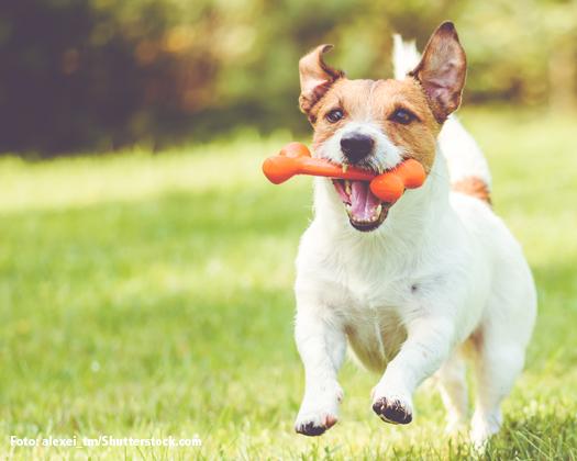 Jack Russell Terrier Hunde Wesen, Temperament, Erziehung