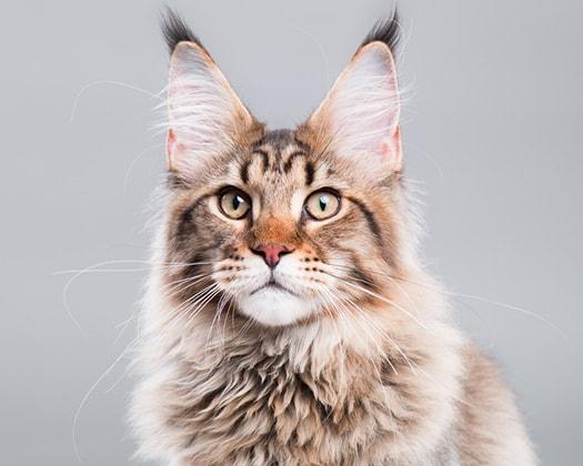 Maine Coon: Flauschige Hauskatzen | ZOO & Co
