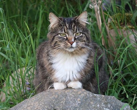 Norwegische Waldkatze Neugierige Rasse Zoo Co